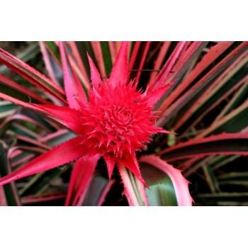 Ananas Comosus cv Porteanus - MC - 312