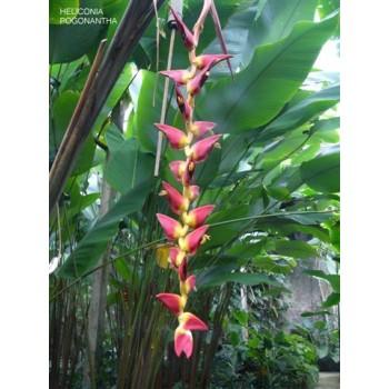 Pogonantha Cufodentis - HP - 192