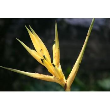 Hirsuta Yellow Panama - HEP - 013